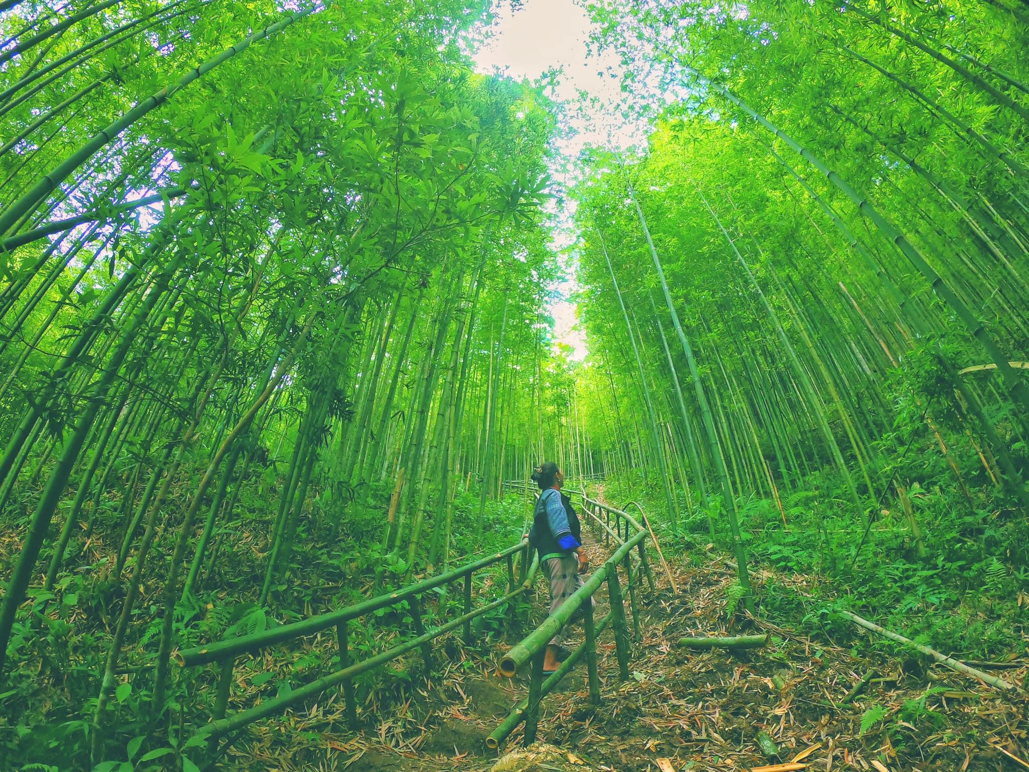 Đắm chìm trong màu xanh ngọc lục bảo của rừng trúc Púng Luông